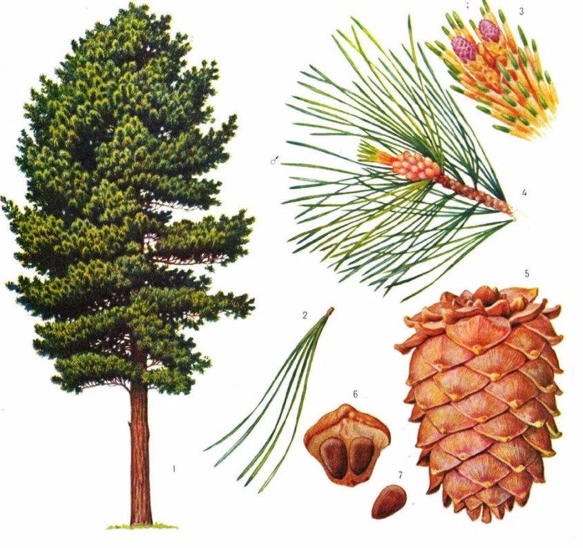 Кедровые деревья где растут